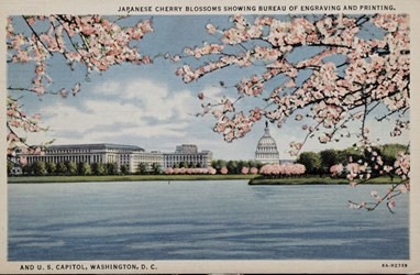 Japanese Cherry Blossoms showing Bureau of Engraving and Printing, and U.S. Capitol, Washington, D.C.