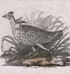 ERIC NEWMAN DISCOVERS AUDUBON'S FIRST ENGRAVED ILLUSTRATION