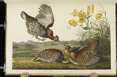 MORE ON AUDUBON'S FIRST ENGRAVED ILLUSTRATION