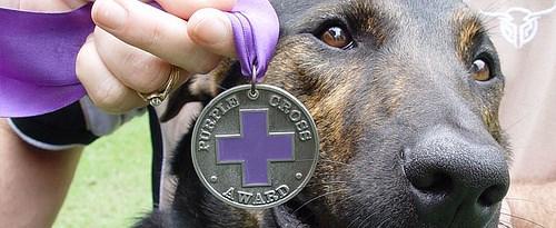 ARMY DOG WINS AUSTRALIA'S PURPLE CROSS FOR ANIMALS