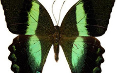 21ST CENTURY NATURE PRINTING: SCIENTISTS STUDY BUTTERFLIES